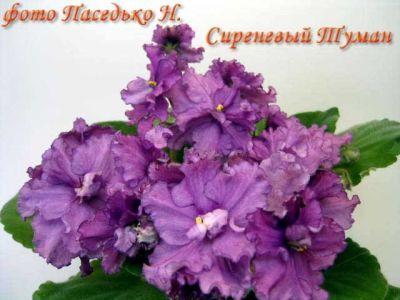 Фиалки в Харькове - 2
